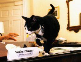 Czarno biały kocur Billa Clintona Socks, który był prawdziwą ikoną popkultury (źródło: wikimedia commons, domena publiczna).
