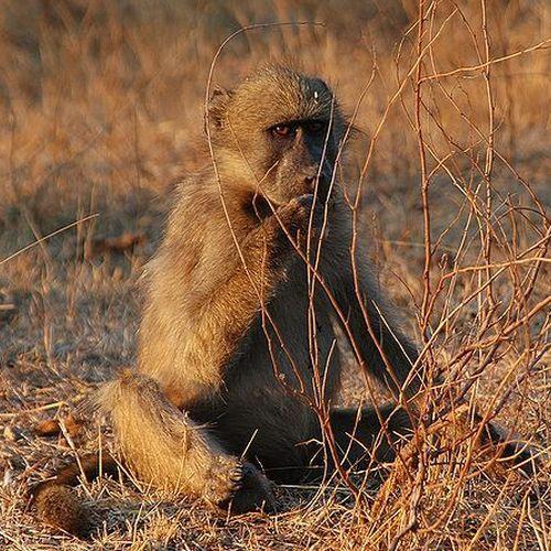 Dziecko (baby) i pawian (baboon). Czyżby pomysłodawca przeszczepu wolał gierki słowne od dobra małego pacjenta (źródło: domena publiczna).