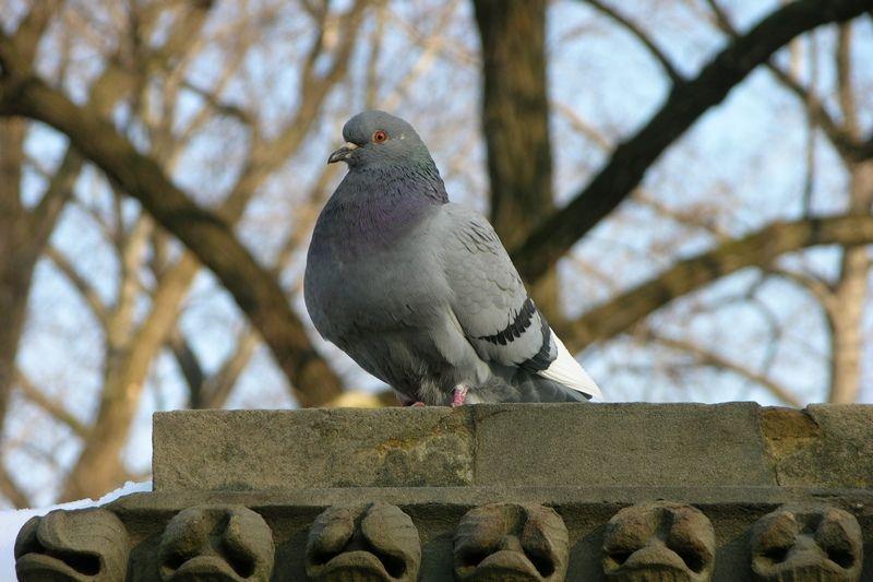 Potencjalny żołnierz-samobójca? Gołąb z Central Parku (fot. Derek Ramsey, lic. GFDL 1.2).