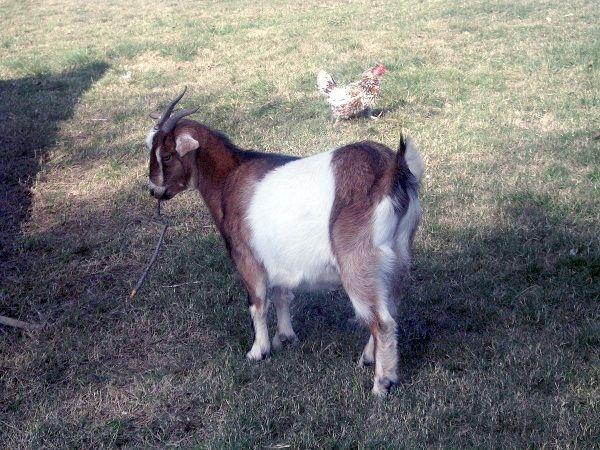 Koza w czasie wojny była niemal dobrem luksusowym (zdjęcie opublikowane na licencji CC BY-SA 4.0, autor Melisa Banchero).
