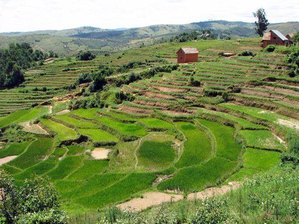 Warunki uprawy roli na Madagaskarze nie są łatwe. Czy żydowscy osadnicy poradziliby sobie w nieznanym sobie otoczeniu? (fot. Bernard Gagnon, CC BY-SA 3.0).