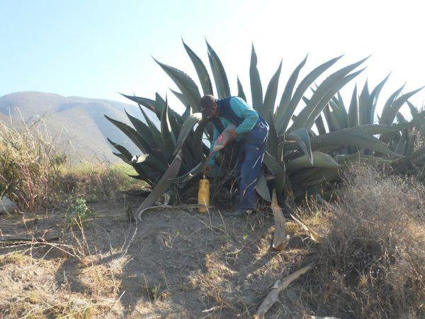 Jak widać agawa to spora roślina (fot. Palmarito Tochapán, CC BY-SA 3.0).