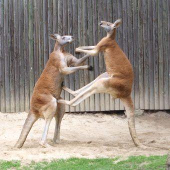 Zbrodnicze kangury? (fot. Dellex, lic. CC BY-SA 3.0).