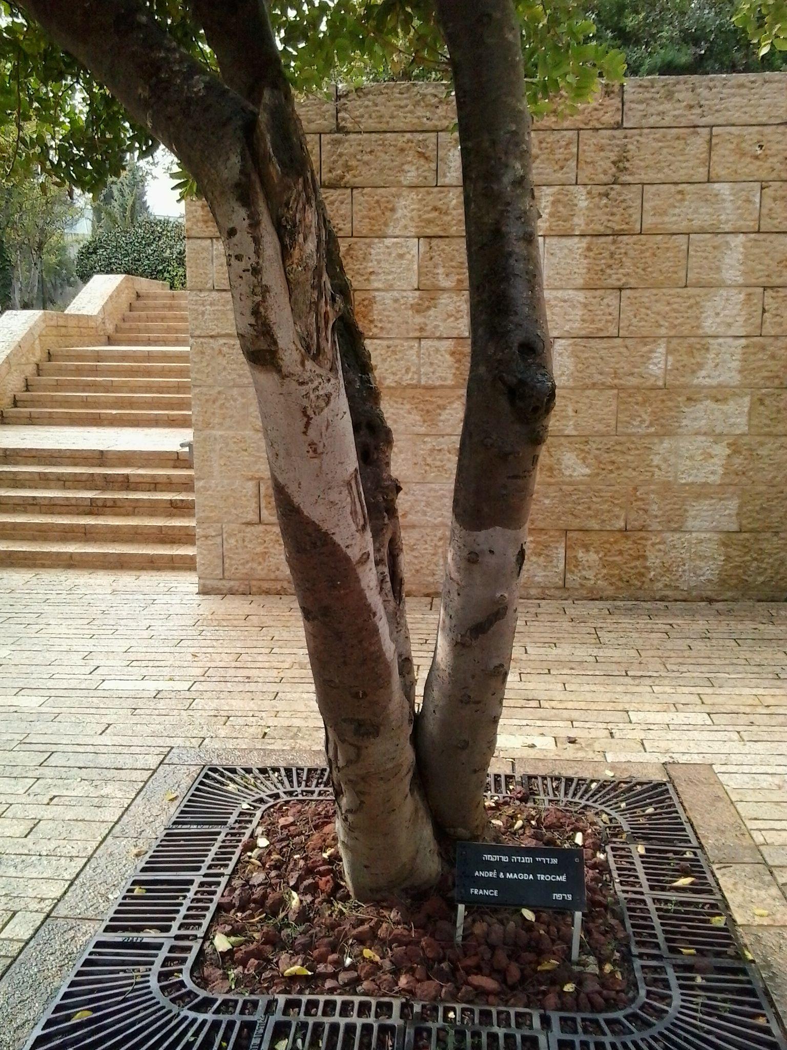 Drzewko André i Magdy Trocmé w ogrodzie Instytutu Yad Vashem (fot. Yad Vashem; lic. CC BY-SA 4.0).
