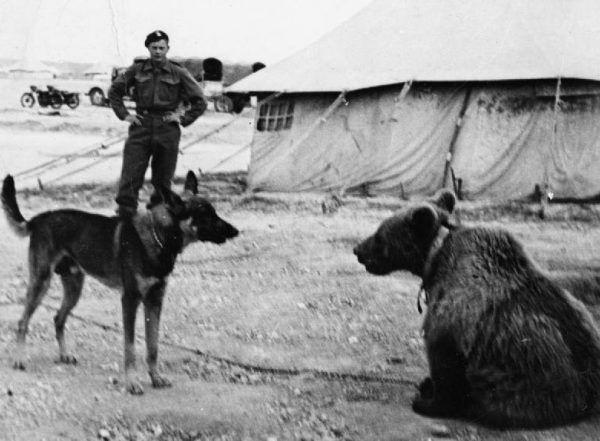 Kontakty niedźwiedzi z mniejszymi zwierzętami zwykle wyglądały ciekawie... szczególnie dla postronnych obserwatorów. Tym razem to miś Wojtek zapoznaje się z psem (źródło: domena publiczna).