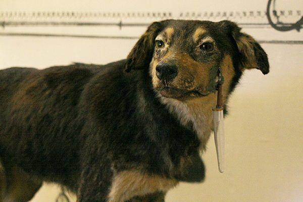 Dobrze, że Pawłow nie wpadł na to, by poszczuć wysłanników władzy swoimi psami... Na zdjęciu jeden z psów naukowca, spreparowany i umieszczony w Muzeum Pawłowa w Riazaniu (autor: Rklawton, lic.: CC BY-SA 3.0).