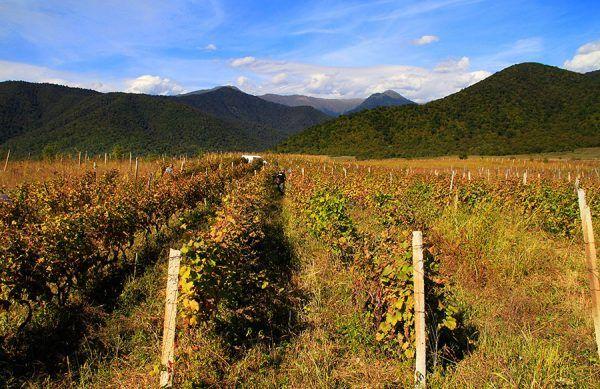 Skoro nie można zakazać ludziom uprawy ziemniaka, to może chociaż wykarczować winnice... Przez takie pomysły wiele cennych szczepów południa zostało zaprzepaszczonych. Mimo to gruzińskie winiarstwo powoli się rozwija. Na zdjęciu winnica w Kachetii (fot. Levan Gokadze, lic. CC BY-SA 2.0).