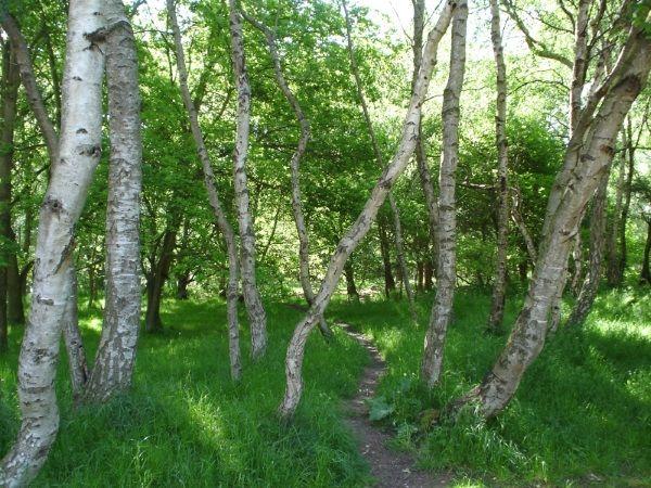 Brzozy w słynnym lesie Sherwood. W tej pieknej scenerii grasowali zarówno legendarni, jak i ci zupełnie realni bandyci. (Zdjęcie opublikowane na licencji CCA BY-SA3.0)
