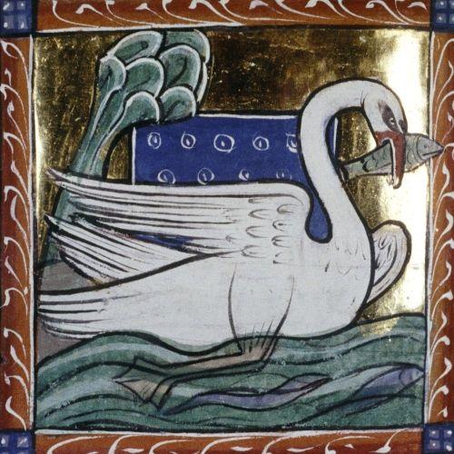 Łabędź, ilustracja z XIII wieku.