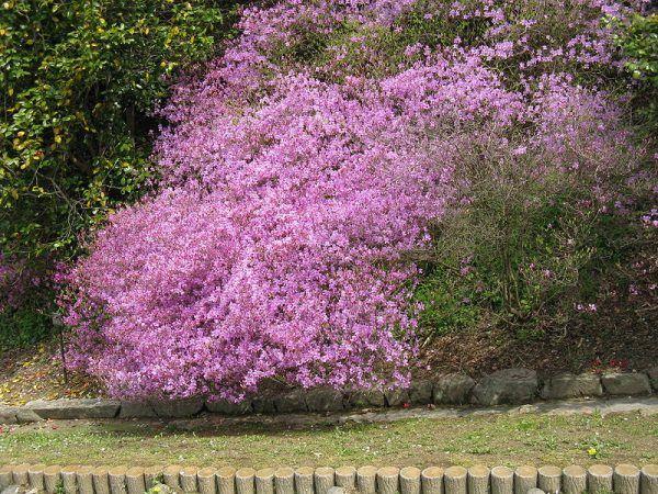 Kto by pomyślał, że jedna roślina skrywa w sobie zarówno zagadkę śmierci, jak i życia. Miód wytworzony z zebranego z rododendrona nektaru służył Mitrydatesowi jako baza trucizny, ale i jako antidotum.