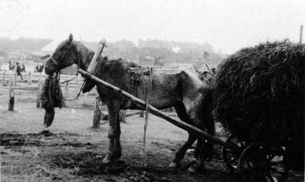 Klęska głodu na Ukrainie i jej ofiara - skrajnie wychudzony koń na skraju śmierci.