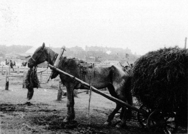 Żywności zabrakło i dla ludzi i dla zwierząt. Na zdjęciu skrajnie wychudzony koń w okresie wielkiego głodu na Ukrainie (fot. domena publiczna)