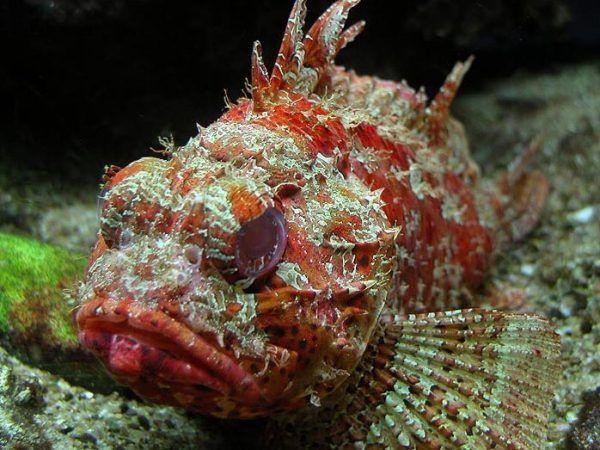 Tak wygląda skorpena - drapieżna ryba uzbrojona w kolce. Już samo jej ukłucie jest niezwykle bolesne dla człowieka. Czy to możliwe, że starożytni karali cudzołożników wkładając ją delikwentowi do odbytu?