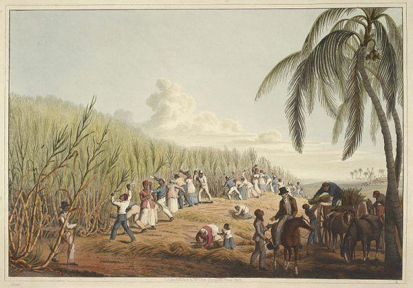 Czarnoskórzy wkrótce również zasilili grono niewolników wysyłanych na afrykańskie plantacje. Często jednak traktowano ich tam lepiej niż białych pracujących na rzecz swoich rodaków. Na ilustracji brytyjska plantacja cukru na Karaibach w 1823 roku.