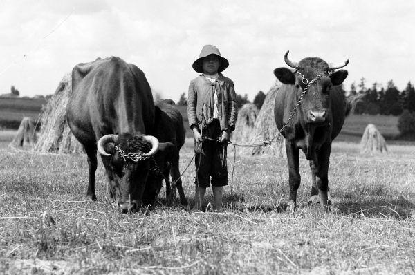 Wypas bydła na polach w Wiśle. Fotografia z 1933 roku