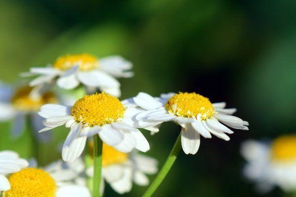Kwiat rumianku (fot. Ulleo, lic. CC0)