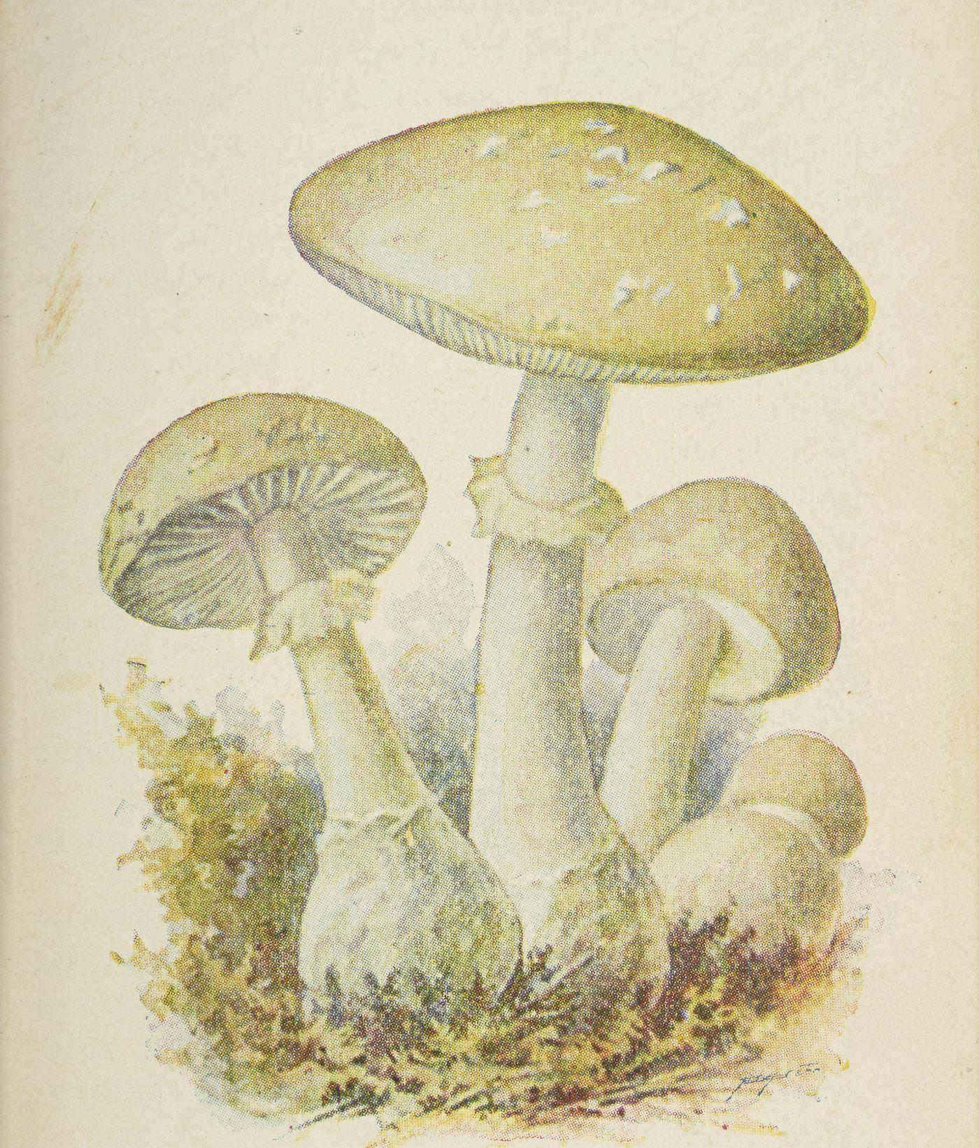 Muchomor zielonawy (sromotnikowy), to właśnie nim zatruły się dzieci z podpoznańskiej szkoły. Ilustracja z atlasu grzybów wydanego w 1905 roku.