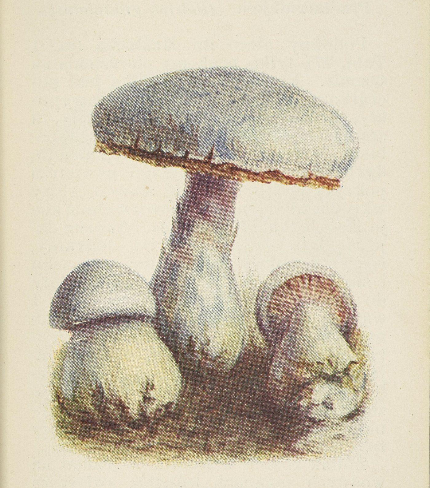 Jeszcze do niedawna nie zdawano sobie spawy z tego, jak niebezpieczne dla zdrowia może być jedzenie tłustocha. Ilustracja z atlasu grzybów wydanego w 1905 roku.