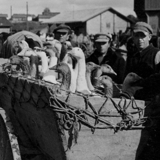 """Oprócz królików na stoły polskich rodzin trafiały gęsi, które można było kupić na ulicznym targu. Więcej dowiesz się sięgając po książkę """"Okupacja od kuchni"""" autorstwa Aleksandry Zaprutko - Janickiej, wydanej nakładem Wydawnictwa Znak."""