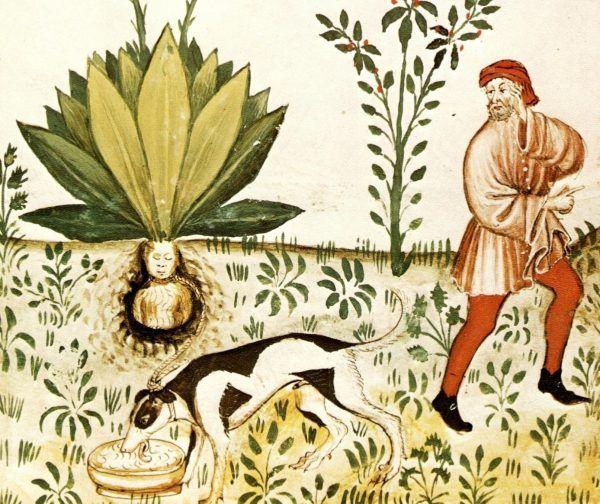 Procedura wydobywania korzenia mandragory była cokolwiek skomplikowana.