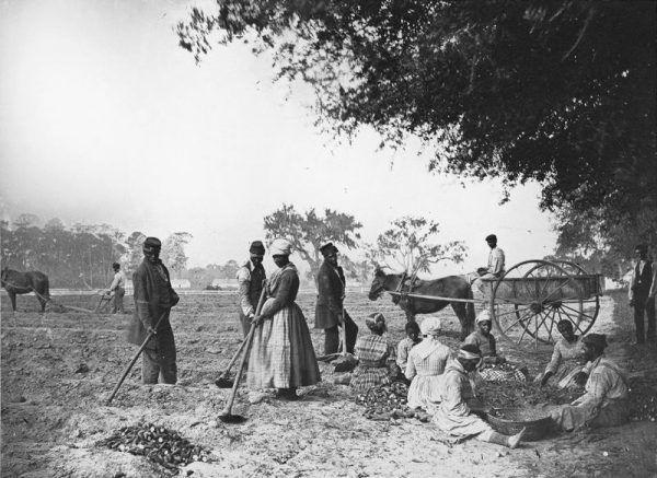 Czarni niewolnicy podczas pracy na plantacji batatów