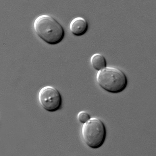 Saccharomyces pod mikroskopem