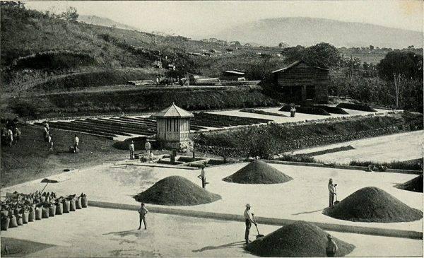XIX-wieczna plantacja kawy