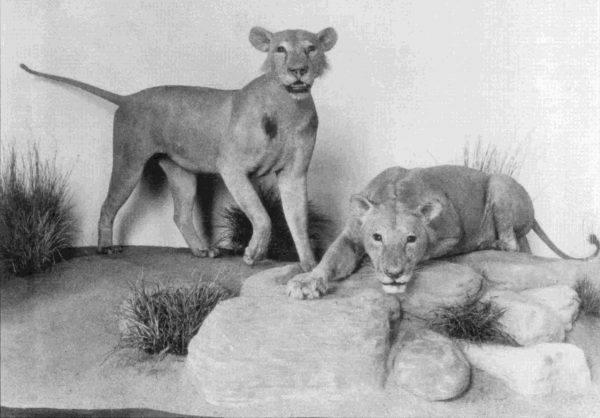 Lwy z Tsavo w Chicago Field Museum