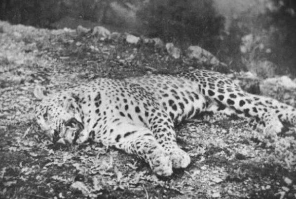 W ciągu 20 lat Corbett zastrzelił ponad 30 dużych kotów polujących na ludzi