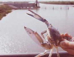 Kalinek błękitny, niepozorny niebieski krab. Jest na tyle cenny, że opłacało się dla niego poświecić życie żołnierzy...