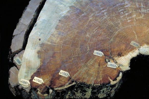 Słoje roczne 357-letniej sosny (Pinus ponderosa) ze śladami pięciu pożarów